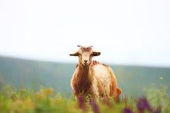 Cabra en campo Fotografía de archivo