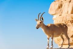 Cabra en el acantilado Imagen de archivo libre de regalías