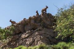 Cabra en el borde de una montaña en la región dhofar 2 del salalah de Omán imagenes de archivo