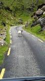 Cabra en el camino en Irlanda Fotografía de archivo