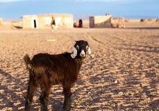 Cabra en el desierto del Sáhara Imágenes de archivo libres de regalías