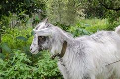 Cabra en el jardín Imagen de archivo libre de regalías