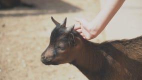 Cabra en el parque zoológico almacen de video