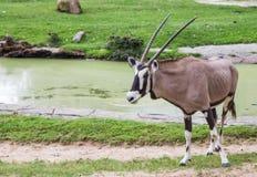 Cabra en el parque zoológico Imagen de archivo