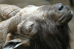 Cabra en el parque zoológico Fotos de archivo