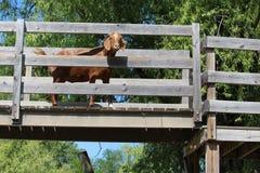 Cabra en el puente Imagen de archivo