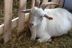 Cabra en granja Fotografía de archivo libre de regalías