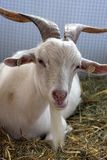 Cabra en granja Foto de archivo