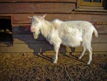 Cabra en granja Fotografía de archivo