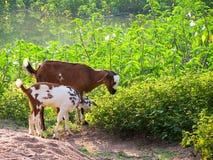 Cabra en hierba Fotos de archivo