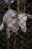 Cabra en jaula Foto de archivo libre de regalías