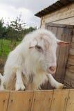 Cabra en la granja Fotos de archivo libres de regalías