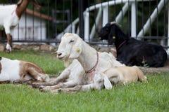 Cabra en la granja del prado imágenes de archivo libres de regalías