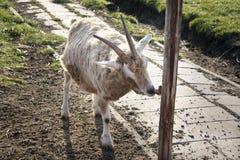 Cabra en la granja fotografía de archivo libre de regalías