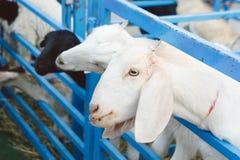 cabra en la granja, para el livestcok de la cría Imágenes de archivo libres de regalías