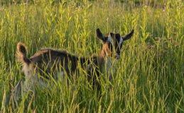 Cabra en la hierba Foto de archivo libre de regalías