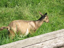 Cabra en la hierba Fotos de archivo libres de regalías