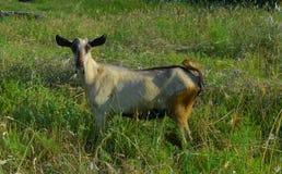 Cabra en la hierba enorme verde en un prado del verano foto de archivo libre de regalías