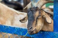 Cabra en la jaula del parque zoológico fotos de archivo