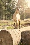Cabra en la naturaleza que se coloca en el árbol Foto de archivo libre de regalías