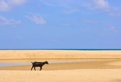 Cabra en la playa Imagen de archivo