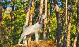 Cabra en la roca Fotografía de archivo libre de regalías