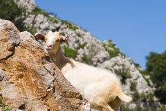 Cabra en Picos de Europa Foto de archivo