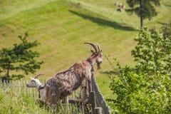 Cabra en prado alpino con la hierba verde y las flores por la cerca Fotografía de archivo libre de regalías