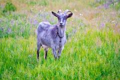 Cabra en prado en tiempo de verano Imagen de archivo