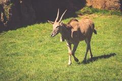 Cabra en prado Manada de la cabra Fotos de archivo libres de regalías