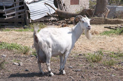 Cabra en reserva de naturaleza en Skala Kalloni Lesvos Grecia Fotografía de archivo