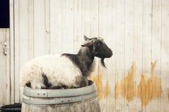 Cabra en un barril Imagen de archivo libre de regalías
