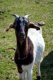 Cabra en un campo - 2 foto de archivo libre de regalías
