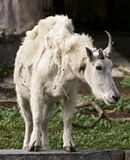 Cabra en un parque zoológico Foto de archivo
