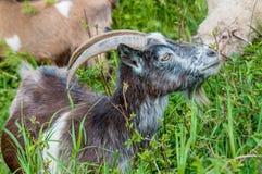 Cabra en un pasto Fotografía de archivo libre de regalías