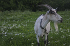 Cabra en un prado del verano Foto de archivo libre de regalías
