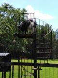 Cabra en una escalera Imagenes de archivo