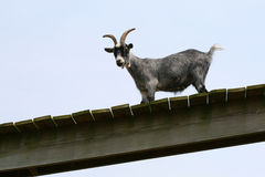 Cabra en una granja Fotos de archivo libres de regalías