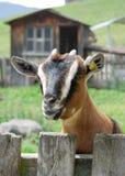 Cabra en una granja de la montaña Foto de archivo