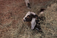 Cabra enana nigeriana del bebé blanco y negro Fotos de archivo