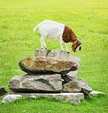 Cabra engraçada Imagem de Stock