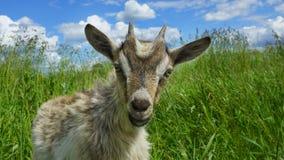 Cabra engraçada bonita fora Foto de Stock Royalty Free