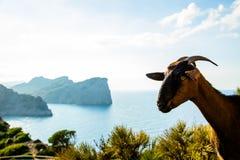 Cabra engraçada no tampão Formentor foto de stock