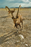 A cabra espera a parcela Fotografia de Stock