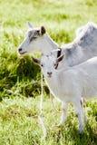 Cabra feliz e sua criança na grama Imagem de Stock Royalty Free