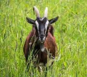 A cabra feliz pasta fora a cabra marrom Imagem de Stock Royalty Free