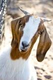 Cabra femenina del boer Imágenes de archivo libres de regalías
