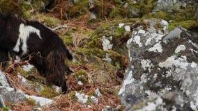 Cabra feroz, billy, baby-sitter, criança que forrageia, pastando em uma inclinação rochosa no parque nacional de Cairngorm, scotl video estoque