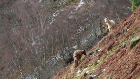 Cabra feroz, billy, baby-sitter, criança que forrageia, pastando em uma inclinação rochosa no parque nacional de Cairngorm, scotl vídeos de arquivo