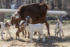 Cabra grande de la niñera rodeada por las cabras del bebé Fotografía de archivo